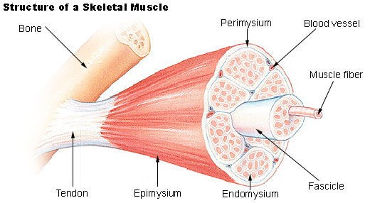 muscle system 2