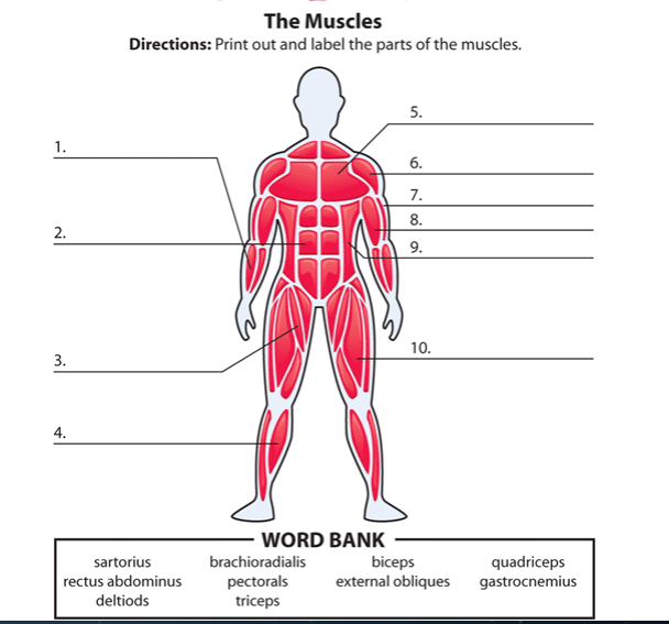 musculoskeletal system questions review & extra credit part 1 of 2, Muscles