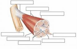 muscular system 1